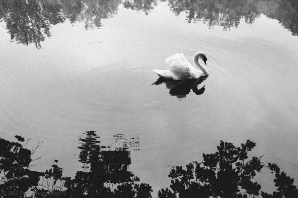 White Swan / Black Swan